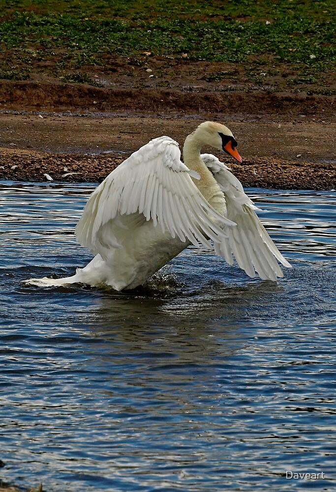 Swan Landing by Daveart