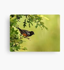 Spotted Towhee - Oak Tree Perch Canvas Print