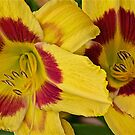 Giant, Yellow Lilies by John Butler