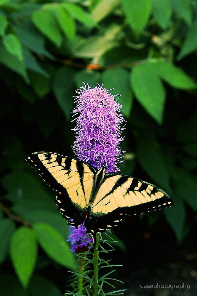 Swallowtail Butterfly by casephotography