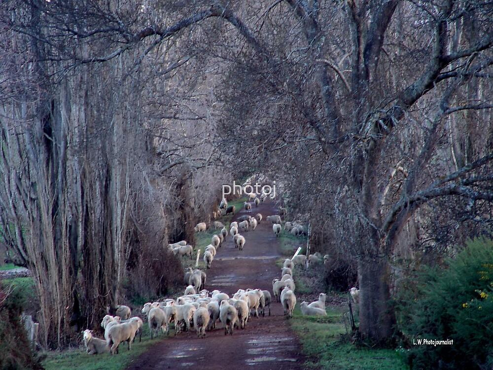 photoj 'Frosty Sheep' by photoj