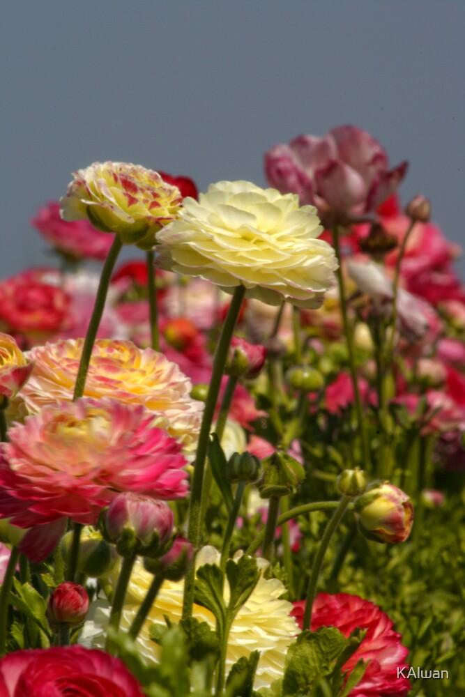 Ranunculus Flowers by KAlwan