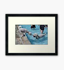Labradoodles at swimming pool Framed Print