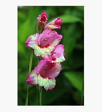Bi-coloured Pink and Pale Yellow Gladioli (Gladiolus) Photographic Print