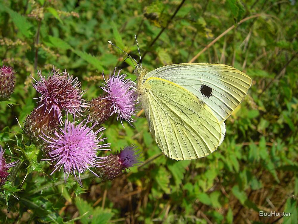Butterfly Feeding by BugHunter