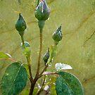 Rose Buds by Jonicool