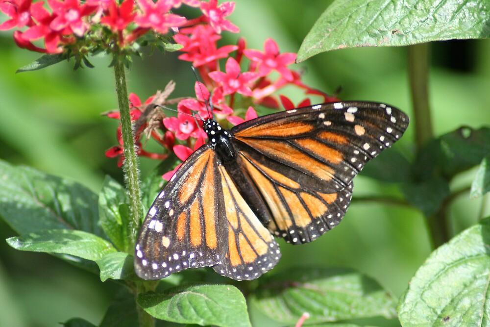 Monarch by Lori Walton