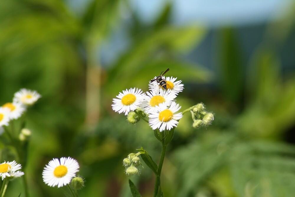 Wild Daisy by Lori Walton