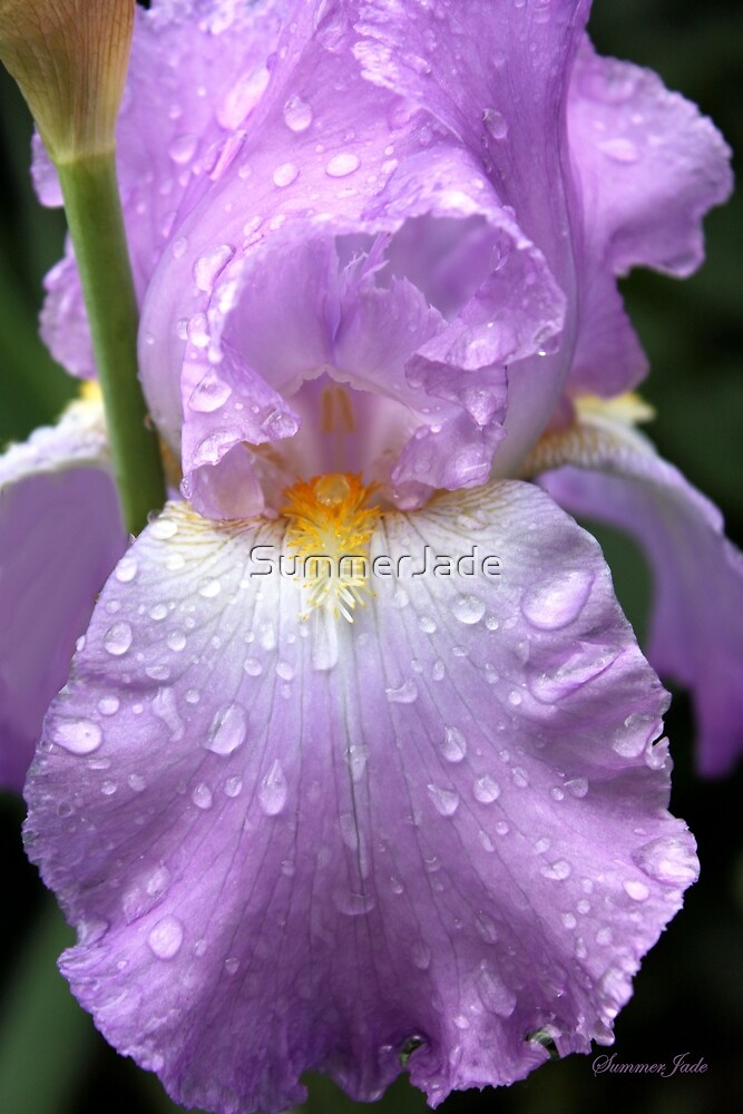 Rain Catcher Iris ~ A Pretty Wet Flower by SummerJade
