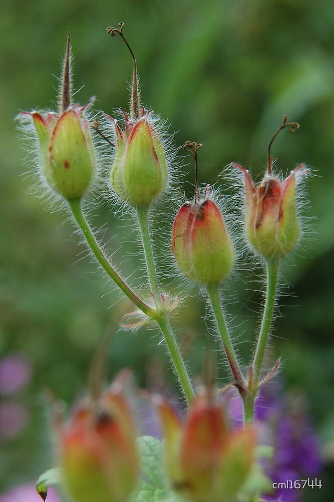 Geranium Buds by cml16744