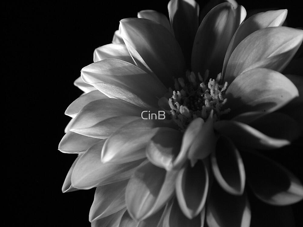 Dark side of the Dahlia by CinB