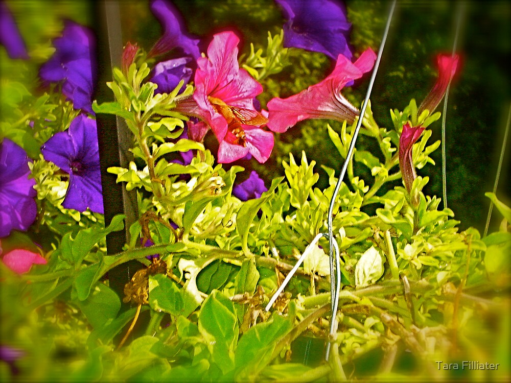Summer Petunias & Humming Bird Moth by Tara Filliater