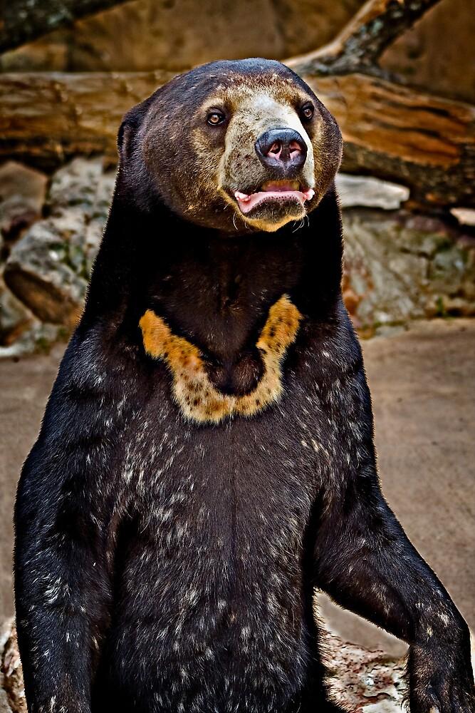 Sun Bear by Scott Ward