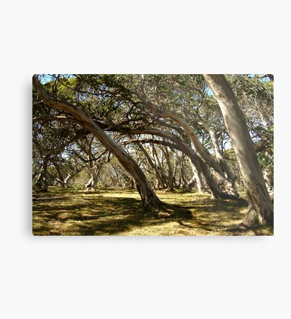 Wind Swept Snowgums,Victorian High Country Metal Print