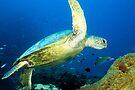 Green sea turtle by David Wachenfeld