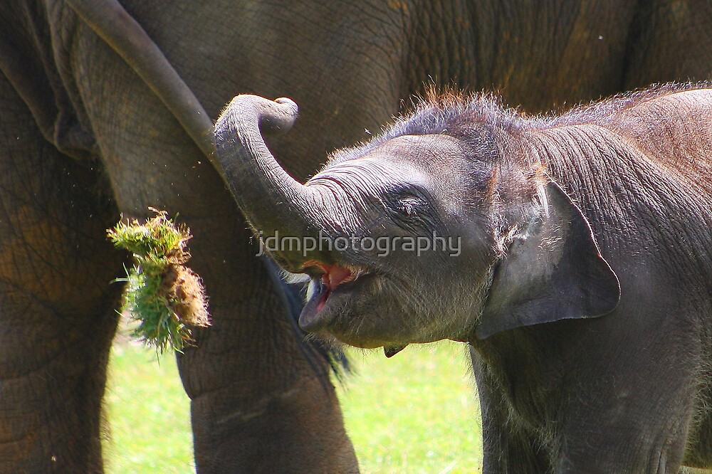 Baby elephant 4 of 4  by jdmphotography