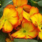 Bi-colored primrose by Newstyle