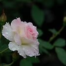 raindrops on roses by daneo