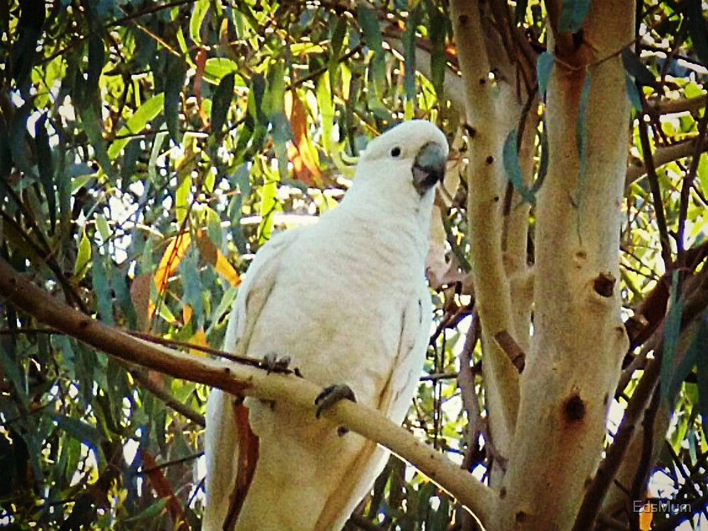 *Sulphar Crested Cockatoo - Halls Gap, The Grampians Vic.* by EdsMum