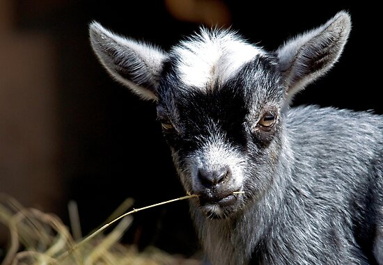 Kid Goat with Straw In Mouth by TJ Baccari Photography