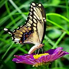 Tiger Swallowtail by pawspurr