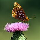 Great Spangled Fritillary by BigD