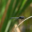 Another Dragonfly by BigD