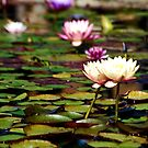 Focus on Water Lillies 1 by HeavenOnEarth
