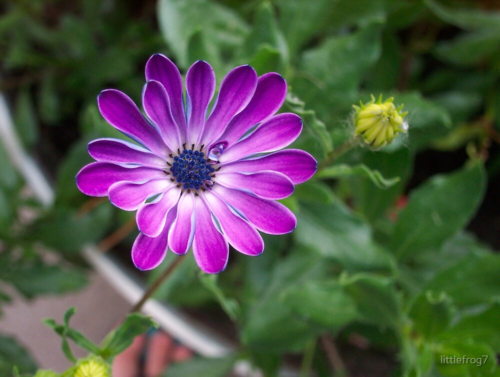 African Daisy by littlefrog7