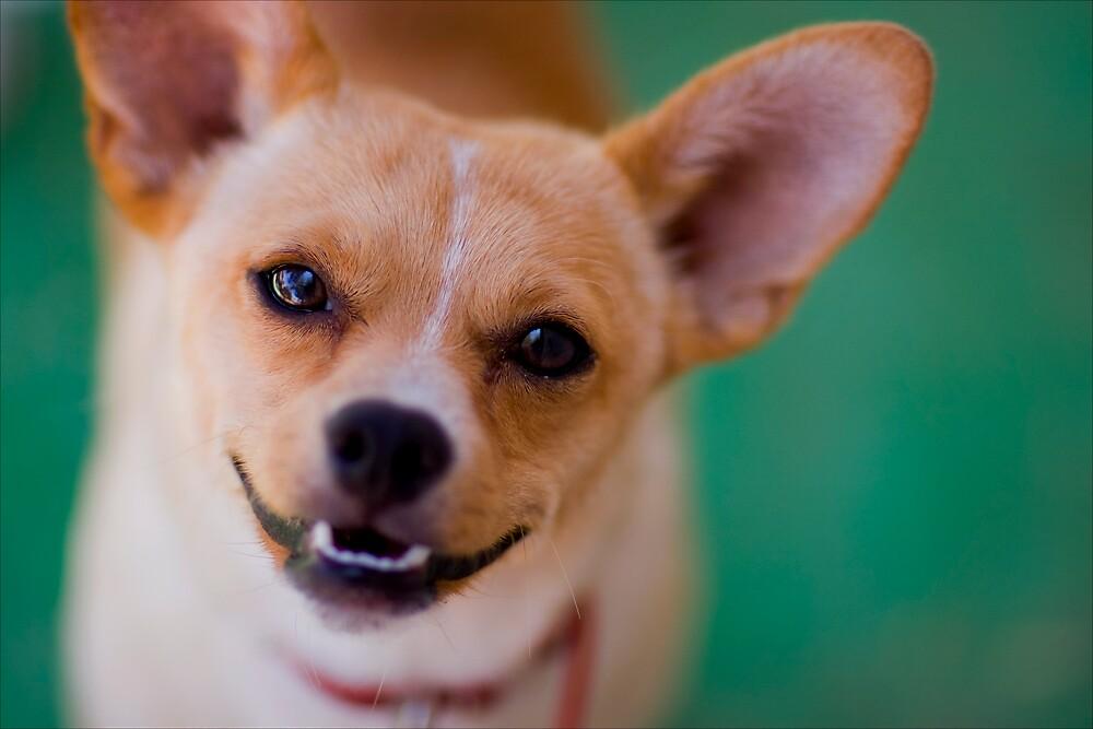 Happy Chihuahua by Lori Tingey