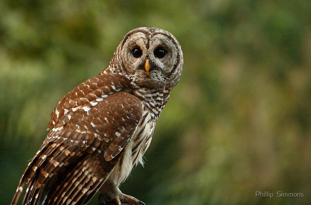 Barred Stare by Phillip  Simmons