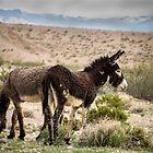 Death Valley Wild Burros by Corri Gryting Gutzman