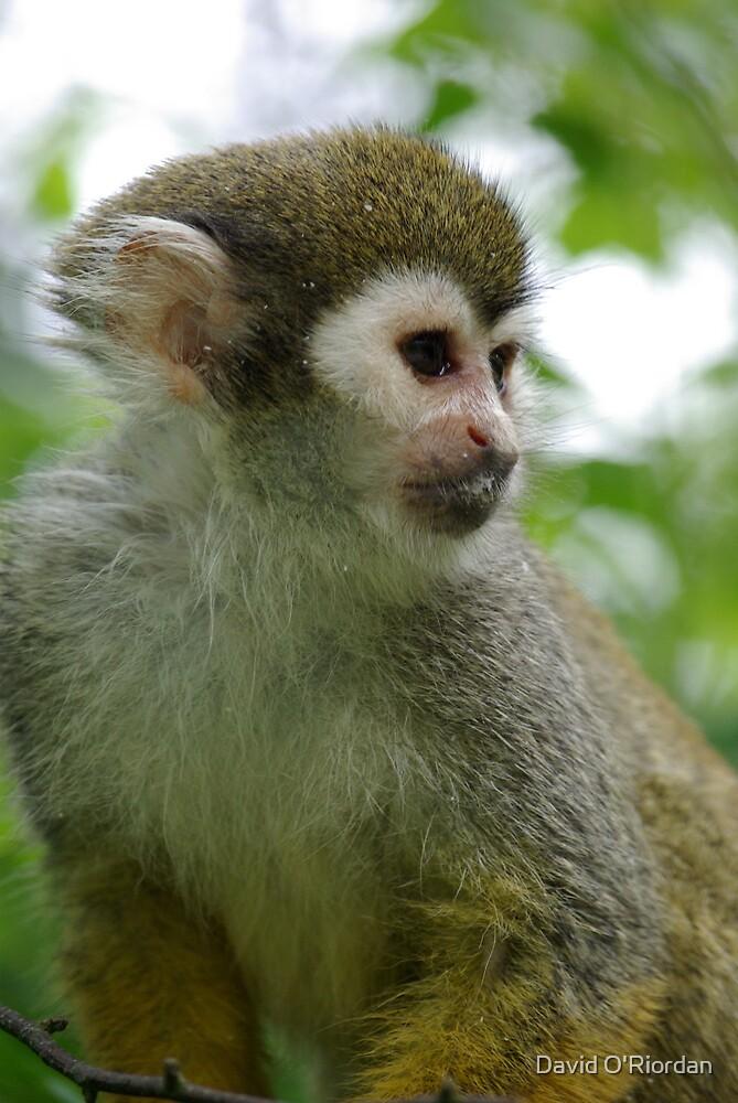 Squirrel Monkey by David O'Riordan