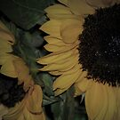 Softer Sunflower by HeavenOnEarth
