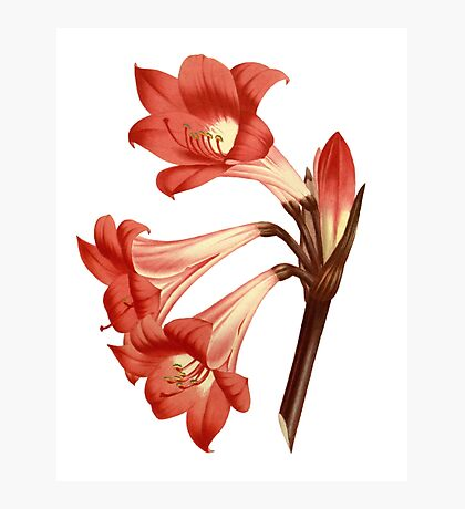 Bella Donna Lily Illustration by Pierre-Joseph Redouté  Photographic Print