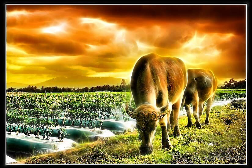 They Carabao by Martin Huang