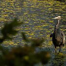 Observations of a Heron by Laddie Halupa