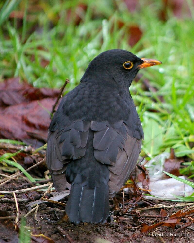 BlackBird by David O'Riordan