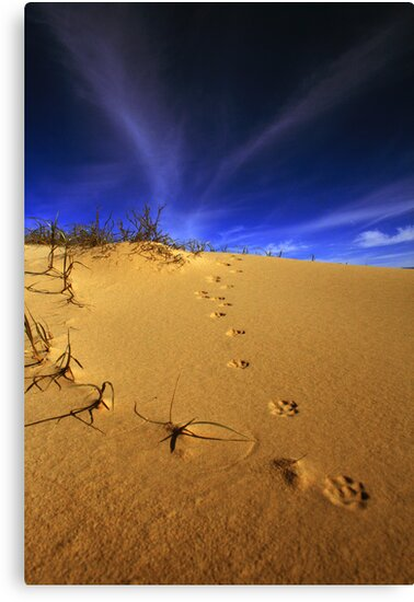 Fox tracks. by Steve Chapple