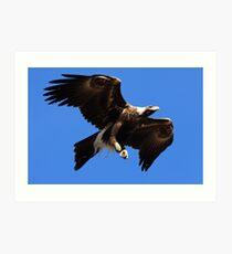 Wedge-Tailed Eagle, Tasmania Art Print