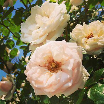 Roses by elizabethamira