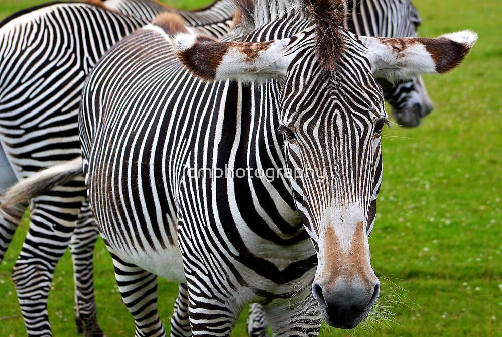 Zebra........... by jdmphotography