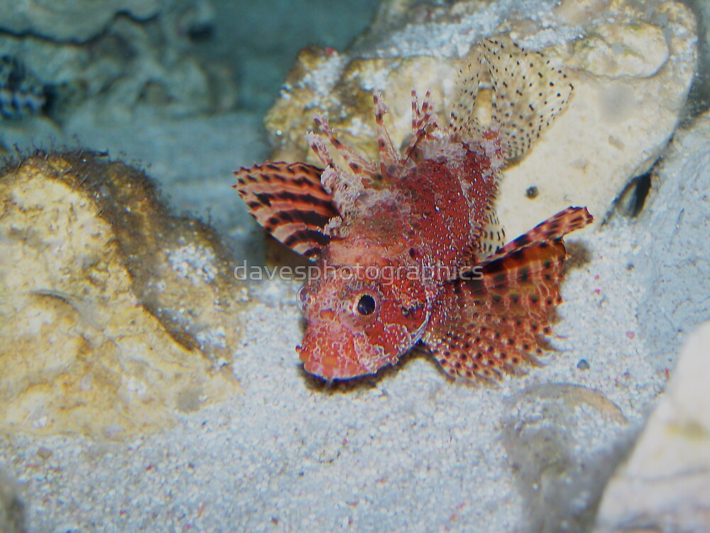 Lion Fish by davesphotographics