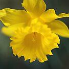 Beautiful Spring Yellow Daffodil  by Joy Watson