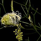 Grevillea leptopoda  by andrachne