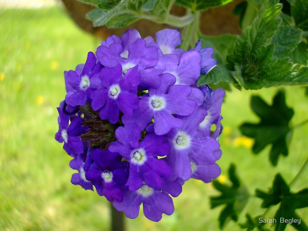 Purple Flower Drops by Sarah  Begley