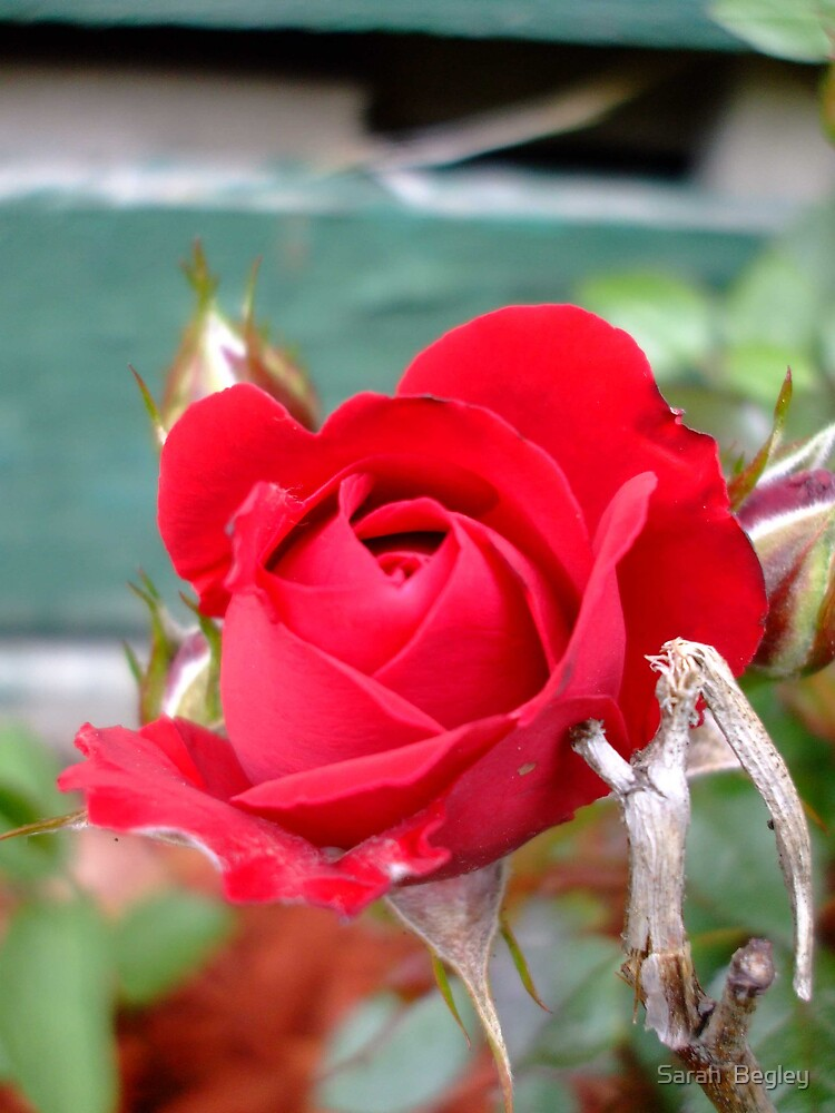 Small Rose by Sarah  Begley