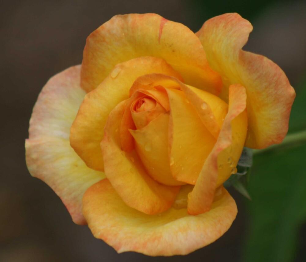 Yellow Rose by rendarena