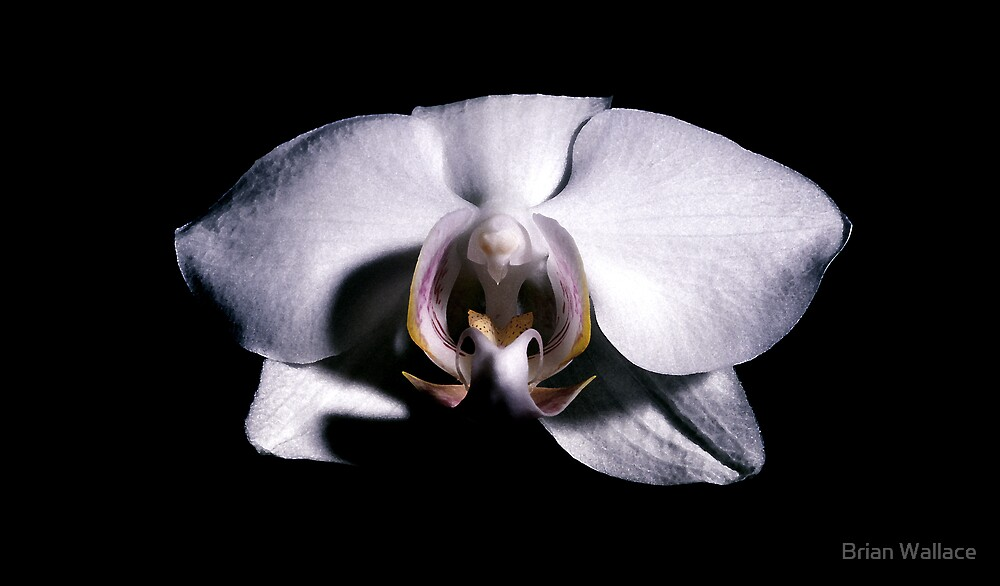 white orchid in darkness by Brian Wallace