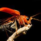 Orange Beetle by Frank Yuwono